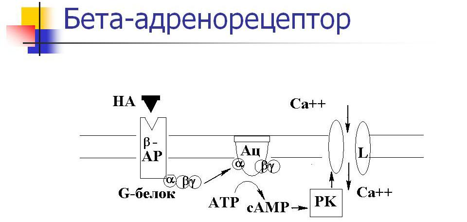 Бета адренорецепторов