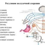 Активизация секреторных функций желудка