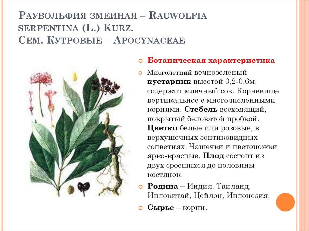 Экзотическое растение Раувольфия змеиная