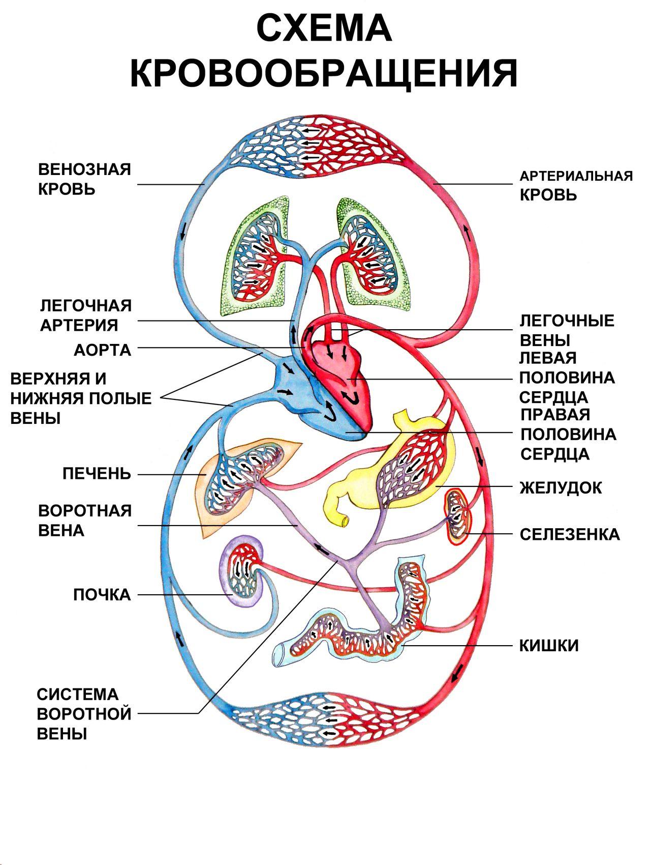 Применение методики акупунктуры активирует кровоснабжение организма