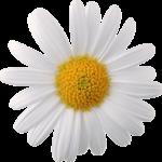 Ромашка повышает или понижает давление? Состав и польза целебного цветка