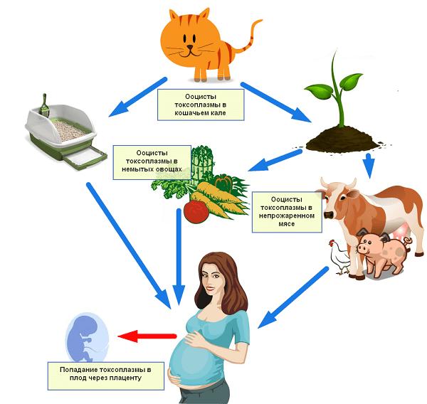 Пути заражения токсоплазмозом